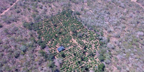 Plantação com 40 mil pés de maconha é encontrada com a ajuda de drone no norte da Bahia