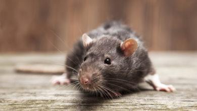 Photo of Você sabia? Lei permite pelo de rato, mosca, e insetos nas comidas
